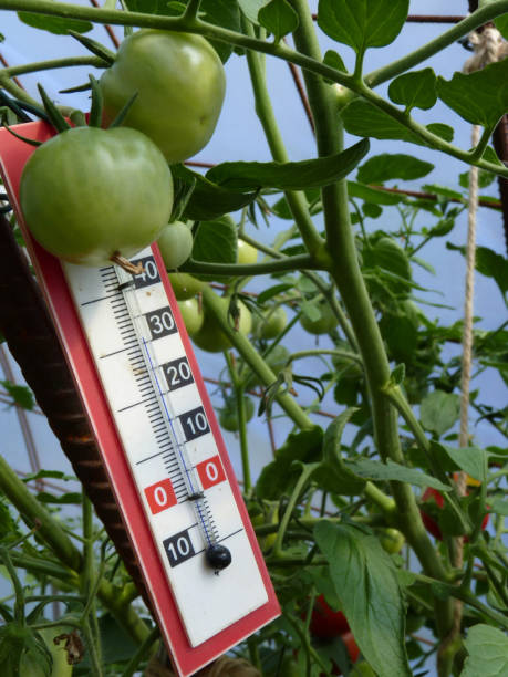Thermometer Placed in Plastic Greenhouse with Tomato Plants stock photo