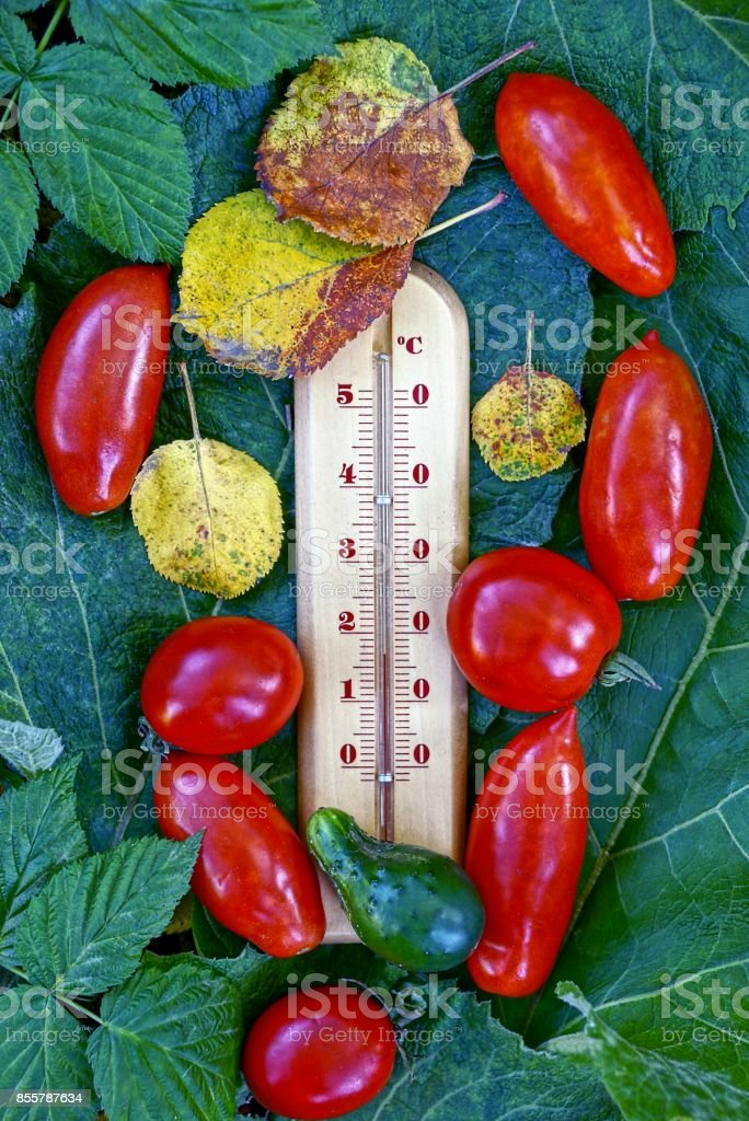 Thermometer with tomatoes and cucumber and dry leaves on a green leaf stock photo