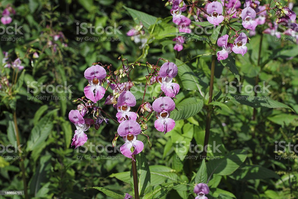Pink purple flowers of Indian balsam Impatiens glandulifera close up stock photo