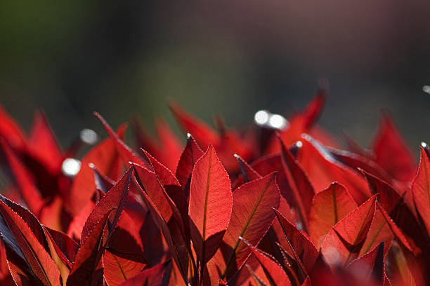 Red tips of Photinia leaves in spring plus copy space These are red new spring shoots on an evergreen hedge (Photinia x fraseri) æRed RobinÆ. Photinia is often chosen as a dense hedge plant that grows fiery red new leaves early in the year. whiteway stock pictures, royalty-free photos & images