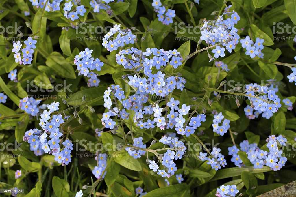Sky blue wood forget-me-not Myosotis sylvatica wildflower close up stock photo