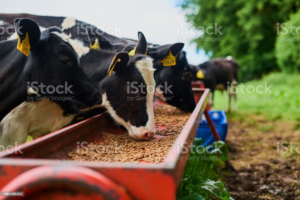 These cows eat only the best stock photo