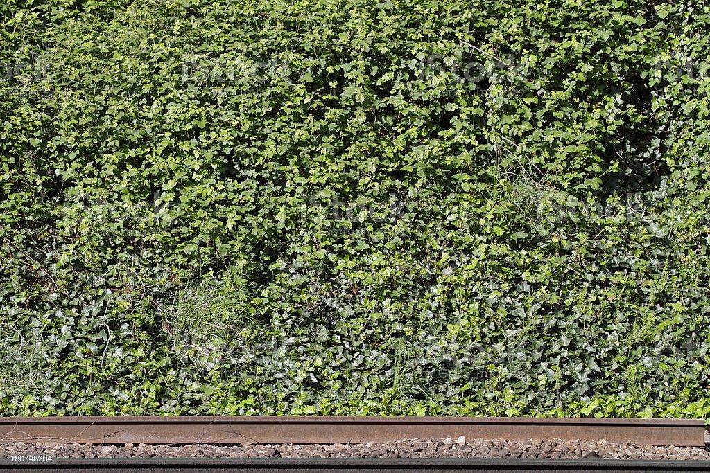 Railway embankment green with ivy and bramble stock photo
