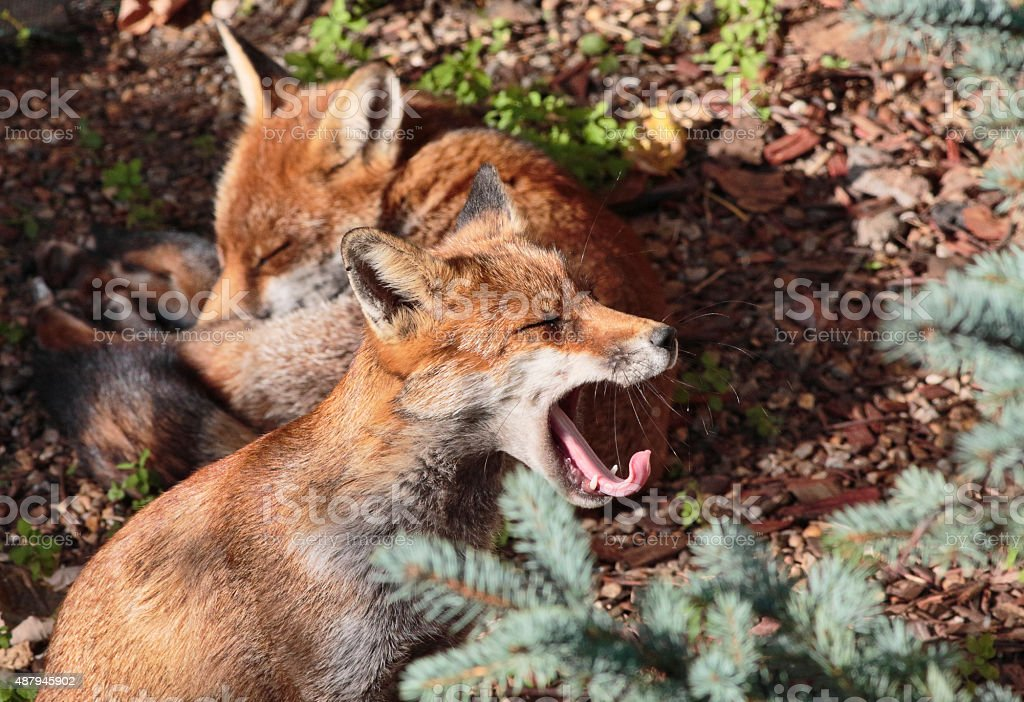 Two red fox cubs one yawning in town garden stock photo