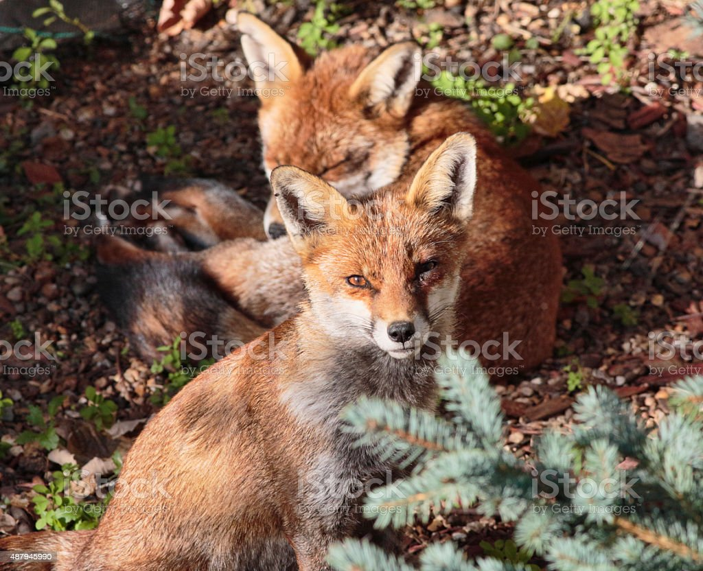 Two red fox cubs one alert in town garden stock photo