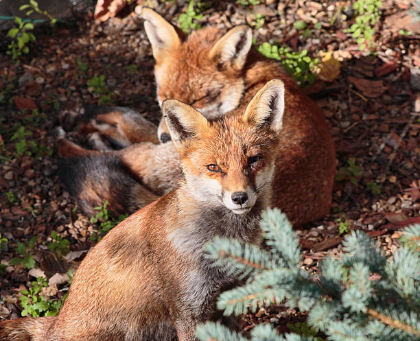 two red fox cubs one alert in town garden - whiteway fox stock photos and pictures