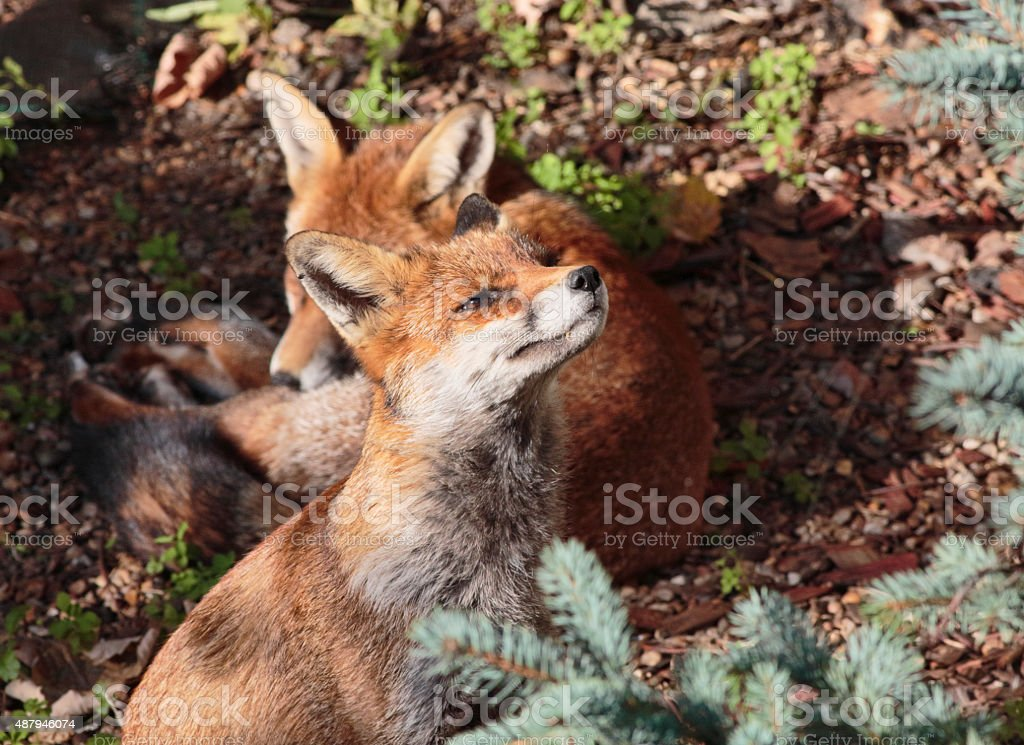Two red fox cubs one stretching in town garden stock photo