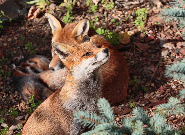 two red fox cubs one stretching in town garden - whiteway fox stock photos and pictures