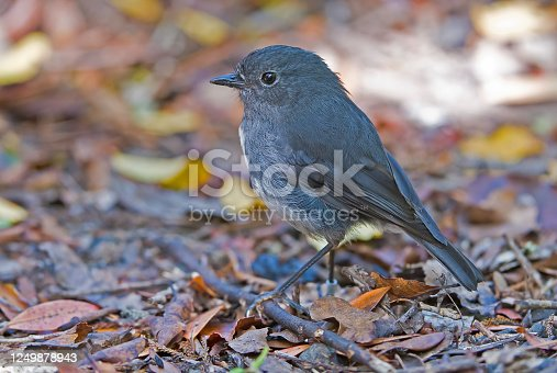 TheStewart Island robin or Toutouwai (Mori), Petroica australis rakiura, is a sparrow-sized bird found only in New Zealand, where it has the status of a protected endemic species. The birds are sparsely distributed through South Island and Stewart Island/Rakiura. The  Stewart Island Robin (Petroica australis rakiura) is accepted as subspecies.