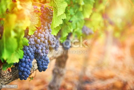 Shot of a bunch of grapes growing on a vineyard