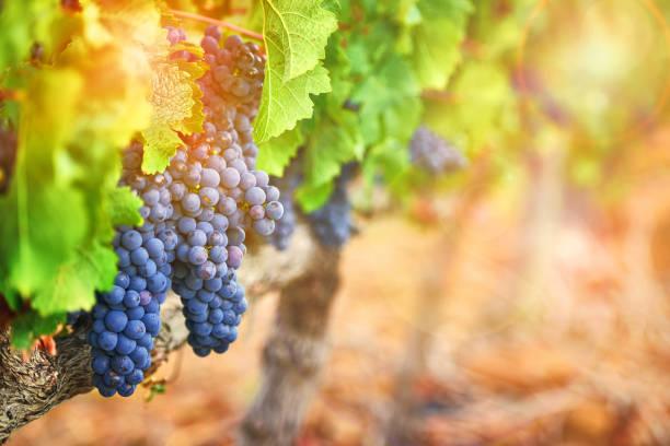 añaden una belleza rústica del paisaje - grapes fotografías e imágenes de stock