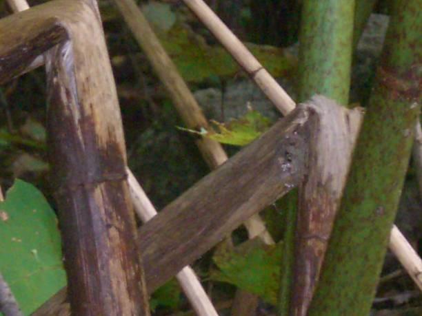 Thick Cane Stalks stock photo