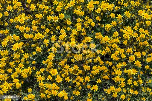 A close-up of a thick stand of goldfields (Lasthenia californica) in the Lancaster valley of southern California after the abundant rains of the winter of 2017.  Goldfield flowers are quite small, less than ½ inch (about 1 cm) in diameter.  This photographer performed an informal calculation that concluded there were about 1000 goldfield blossoms per square foot in a thickly carpeted area, or 10.8 million per square meter.  Calculations for the number of goldfields required to cover an acre or hectare, therefore, are truly staggering.
