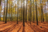 Thick deciduous forest in autumn. Translucent sun rays gently fall on the trunks of trees.