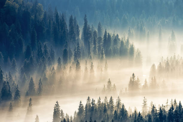 thick glowing fog among spruce forest. stock photo