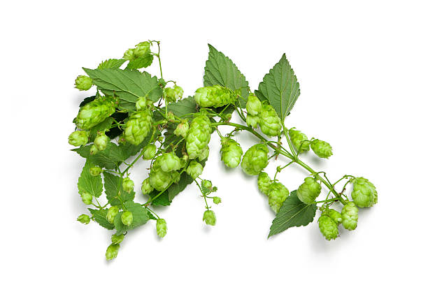 Thick hops branch stock photo