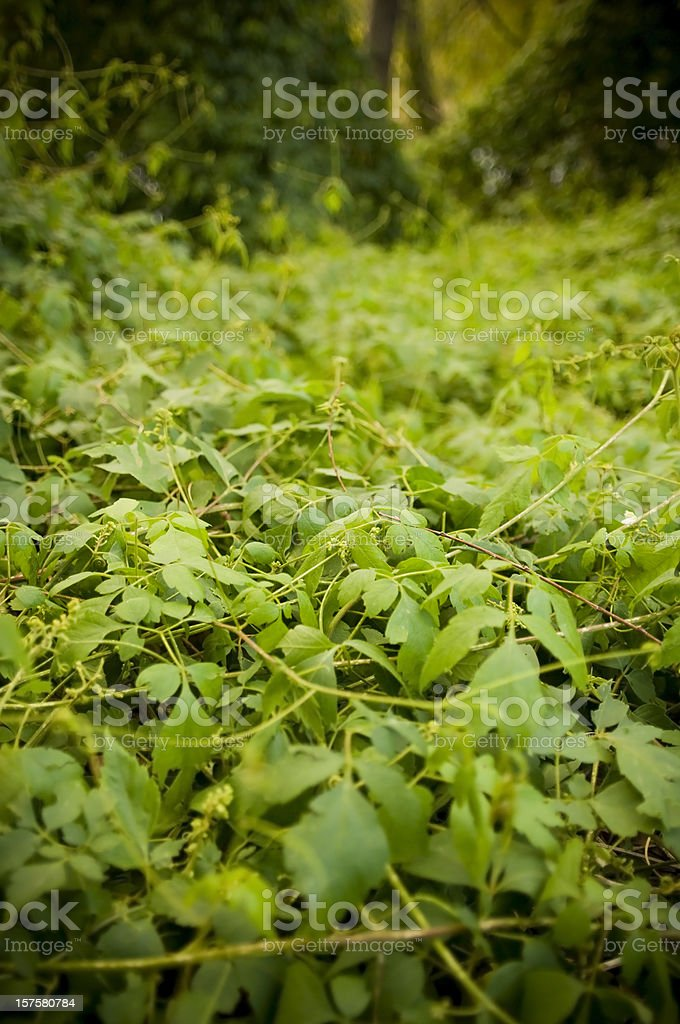 Thick Jungle Creepers stock photo