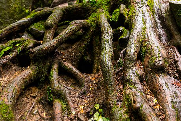 Thick Roots stock photo