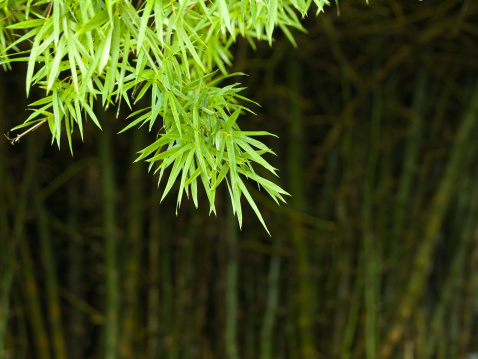 Thicket of bamboo