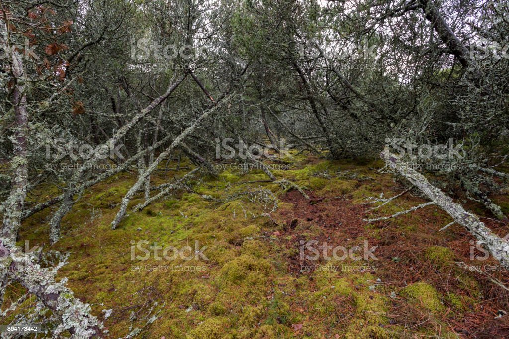 thicket of mountain spruce, moss and windbreak royalty-free stock photo