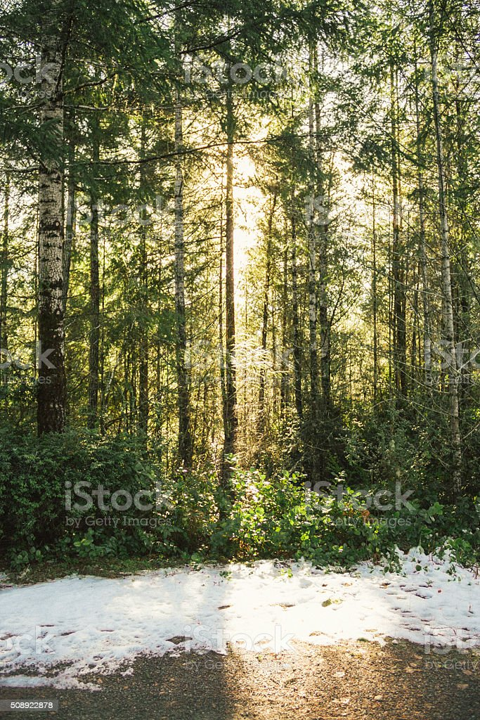 Thicket of Trees Against the Sun stock photo