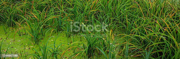 thickets of calamus plants in a marshland. Autumn season in the countryside. Web banner.