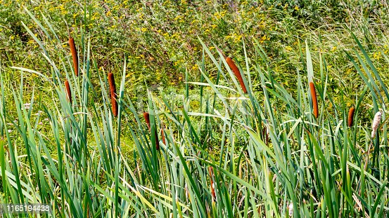 Nature landscape with thickets of cattail