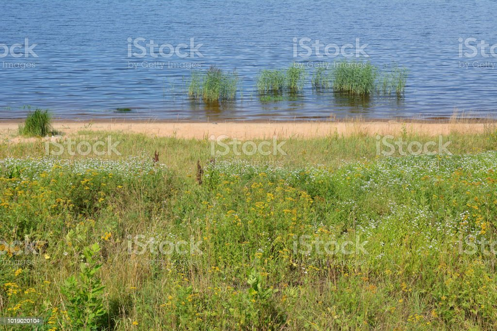 Thickets of grass tansy and chamomile on the banks of the Volga river. stock photo