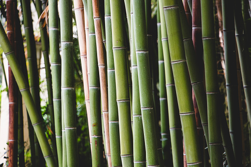 Thickets of green bamboo