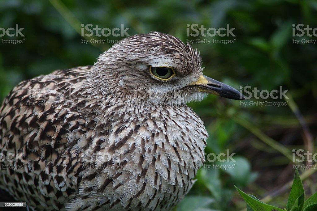 Thick-knee, Cape Bird stock photo