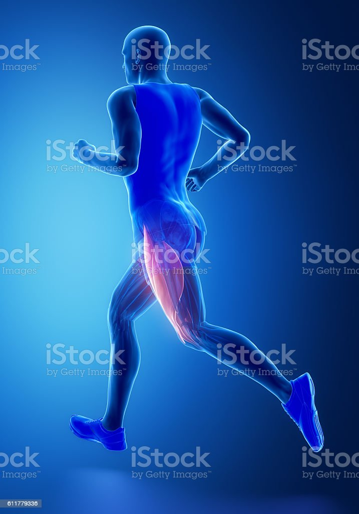 Thigh Muscles Human Muscle Anatomy Stock Photo & More Pictures of ...