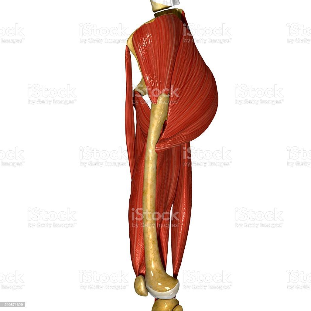 Oberschenkel Seite Muskeln Stock-Fotografie und mehr Bilder von ...