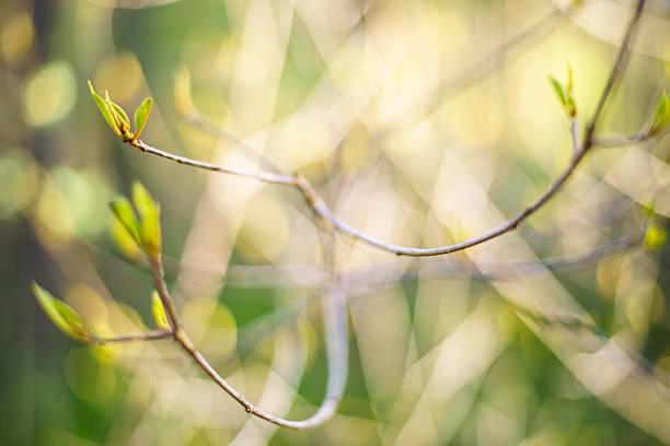 Thin bush ramita con hojas de oreja - foto de stock