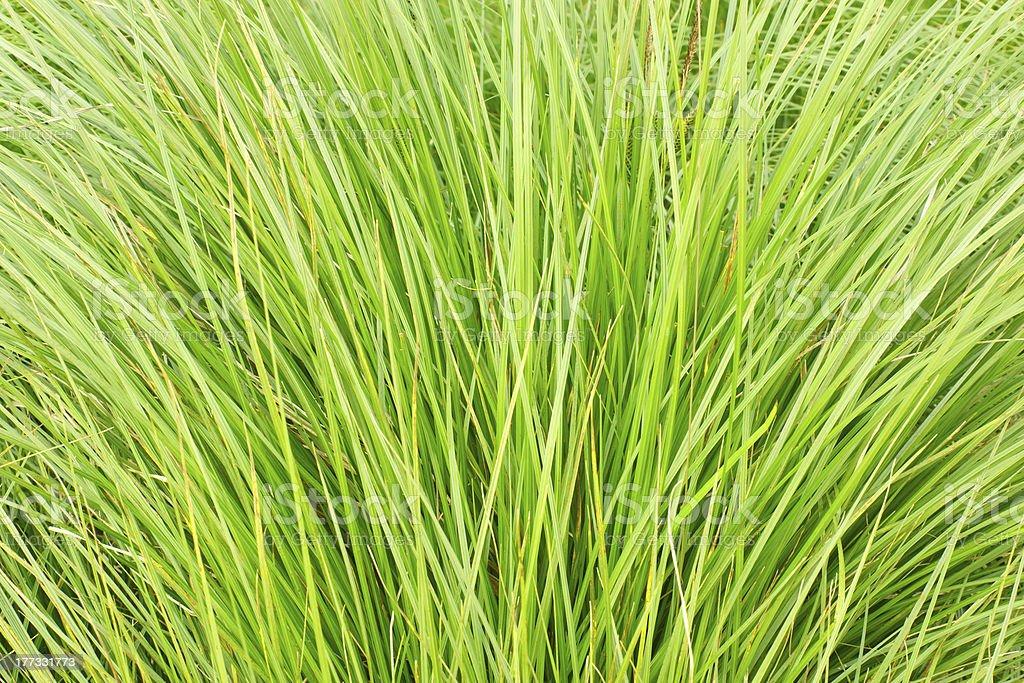 Thin grass royalty-free stock photo