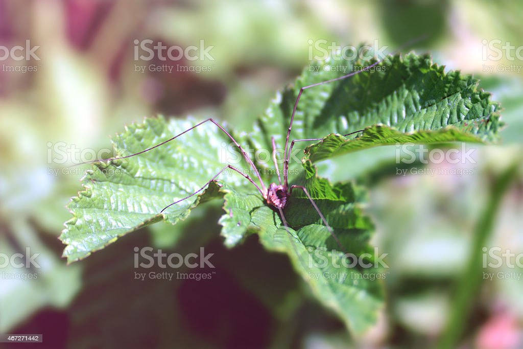 Thin spider on green leaf stock photo