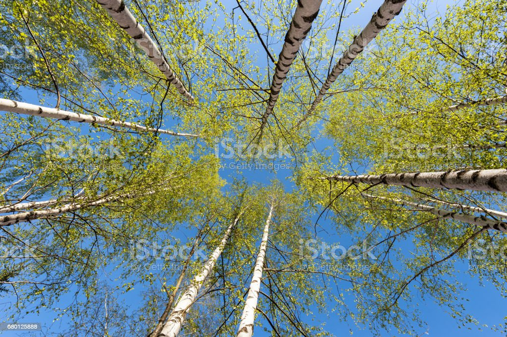 Thin trunks of silver birches with fresh green foliage against the background of the blue sky стоковое фото