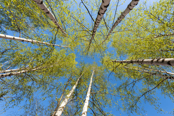 Cтоковое фото Thin trunks of silver birches with fresh green foliage against the background of the blue sky