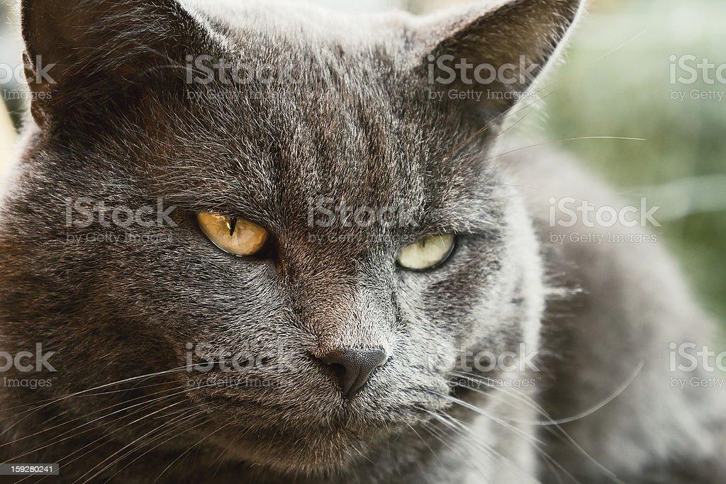 Thinking Cat royalty-free stock photo