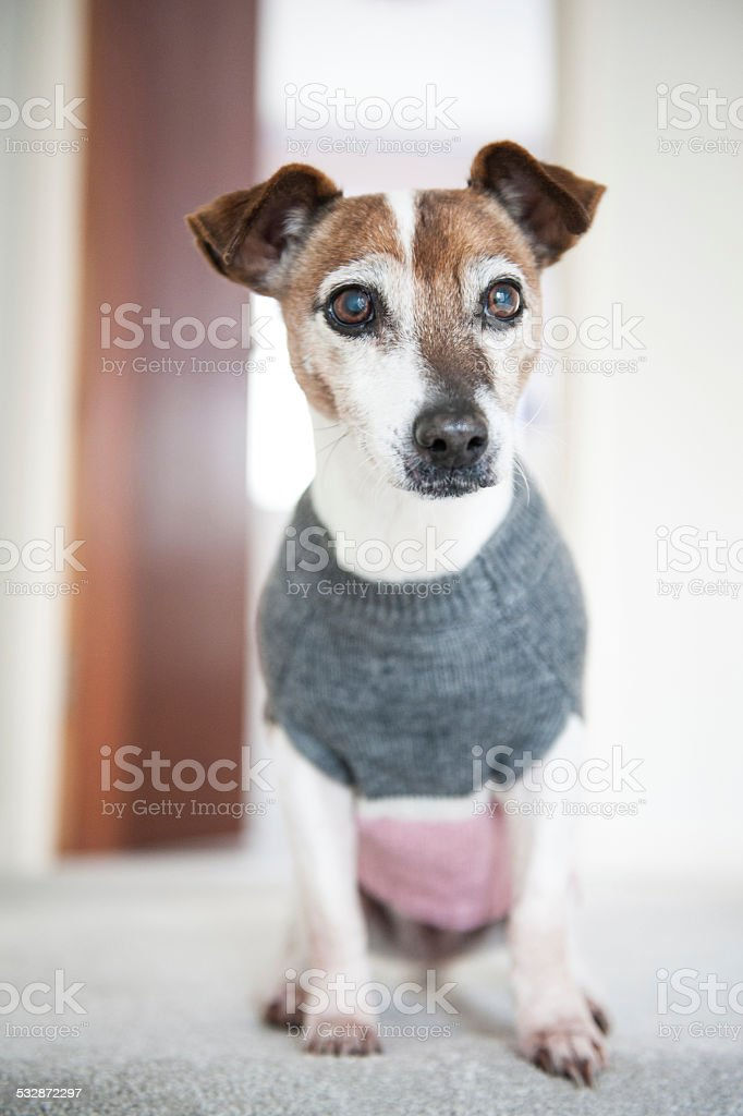 Thinking Dog wearing Handmade Knitted Sweater stock photo
