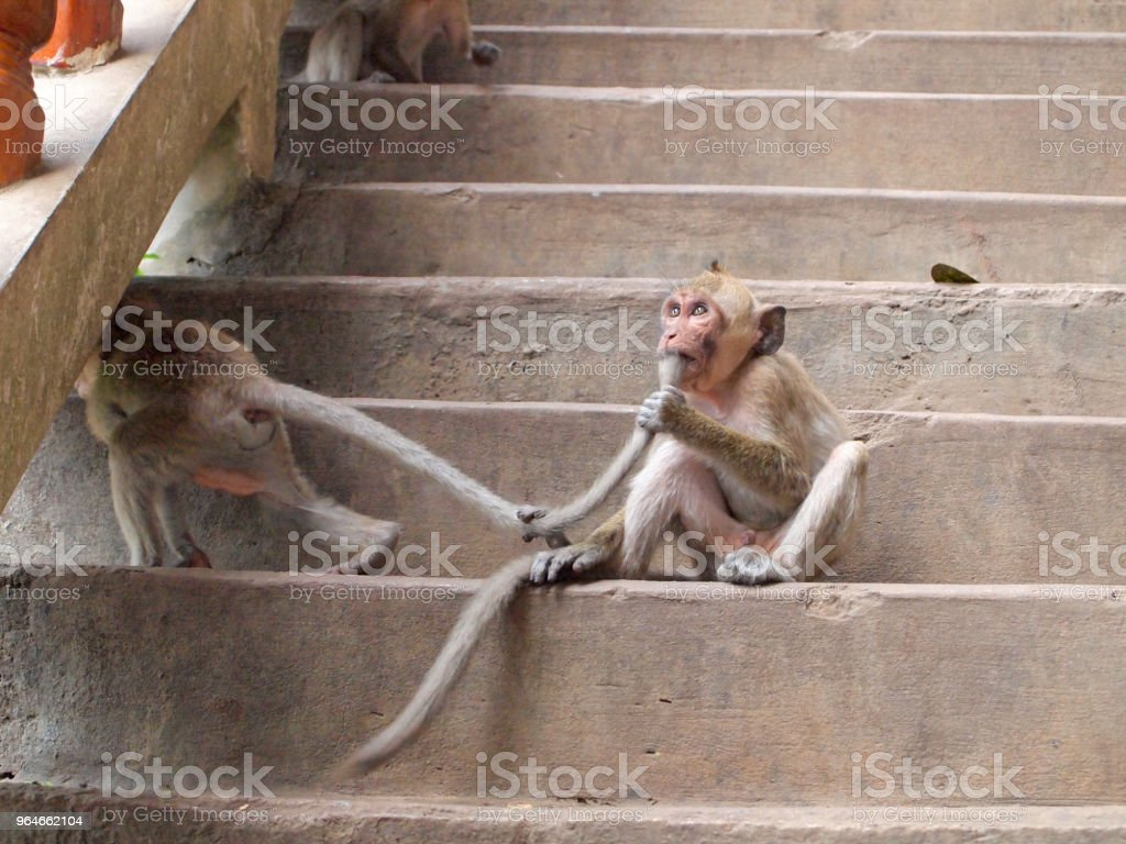 Thinking monkey closeup on stair royalty-free stock photo
