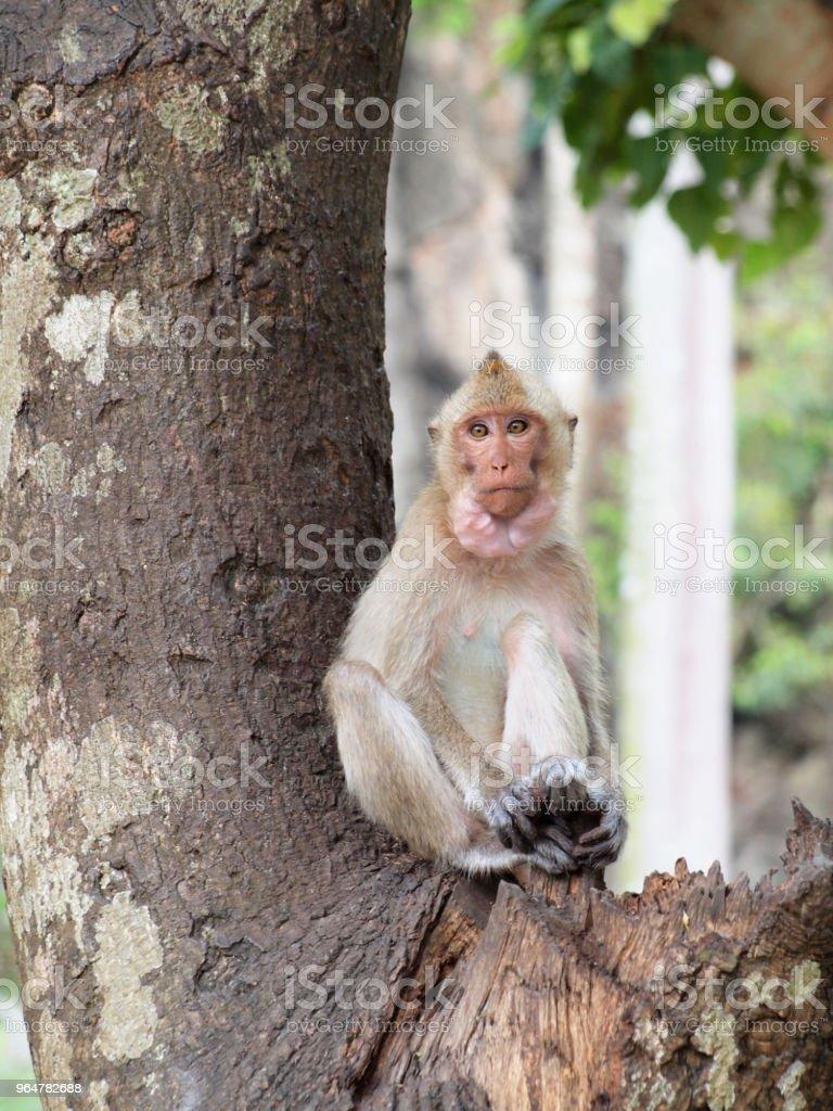Thinking monkey closeup on tree royalty-free stock photo