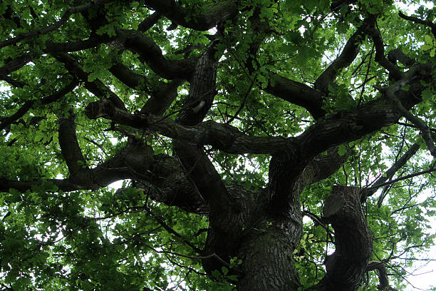 Thinking Tree a tree that was a big oart of my childhood abjure stock pictures, royalty-free photos & images