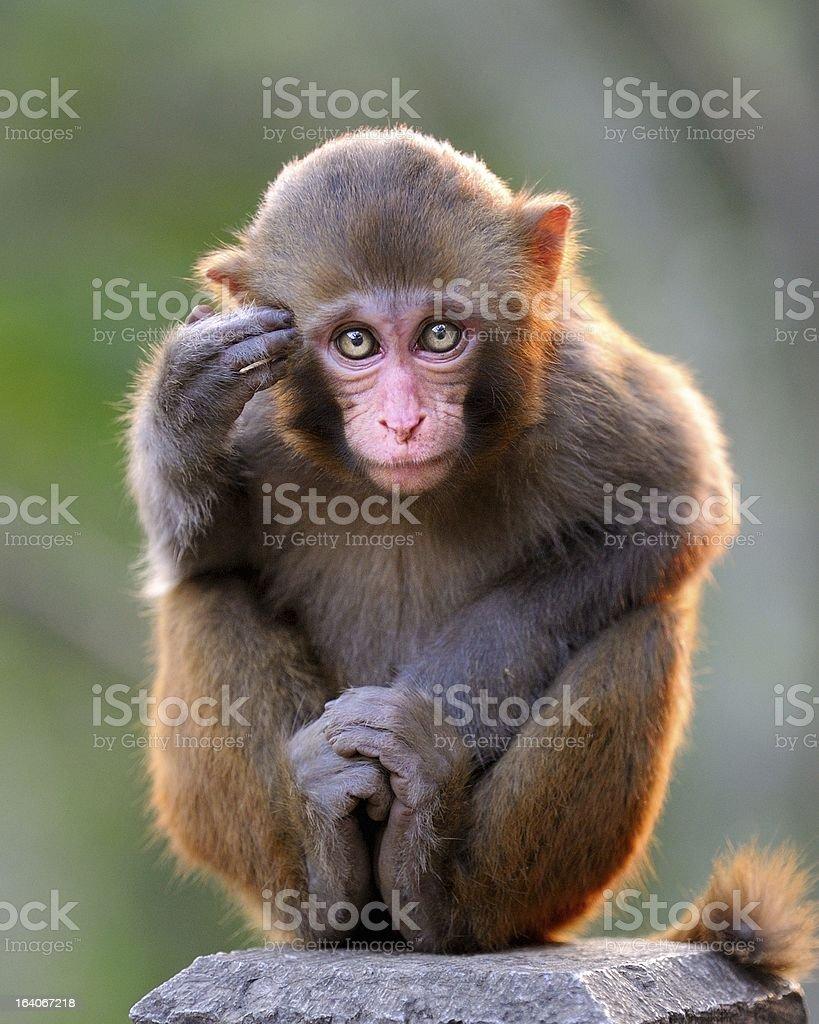 Thinking young monkey stock photo