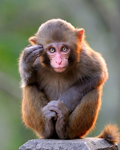 pensare giovane di scimmia - macaco foto e immagini stock