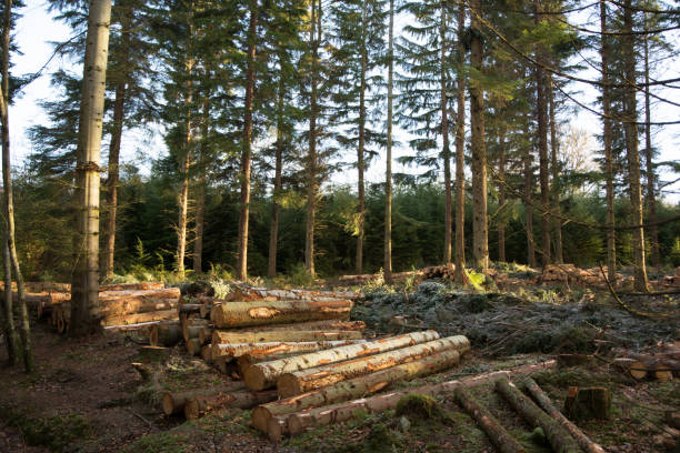 Thinned woodland with low winter sunshine stock photo