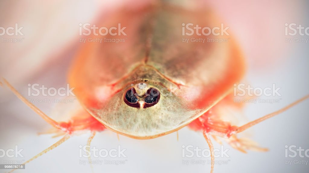 third eye on longtail tadpole shrimp, Triops longicaudatus stock photo