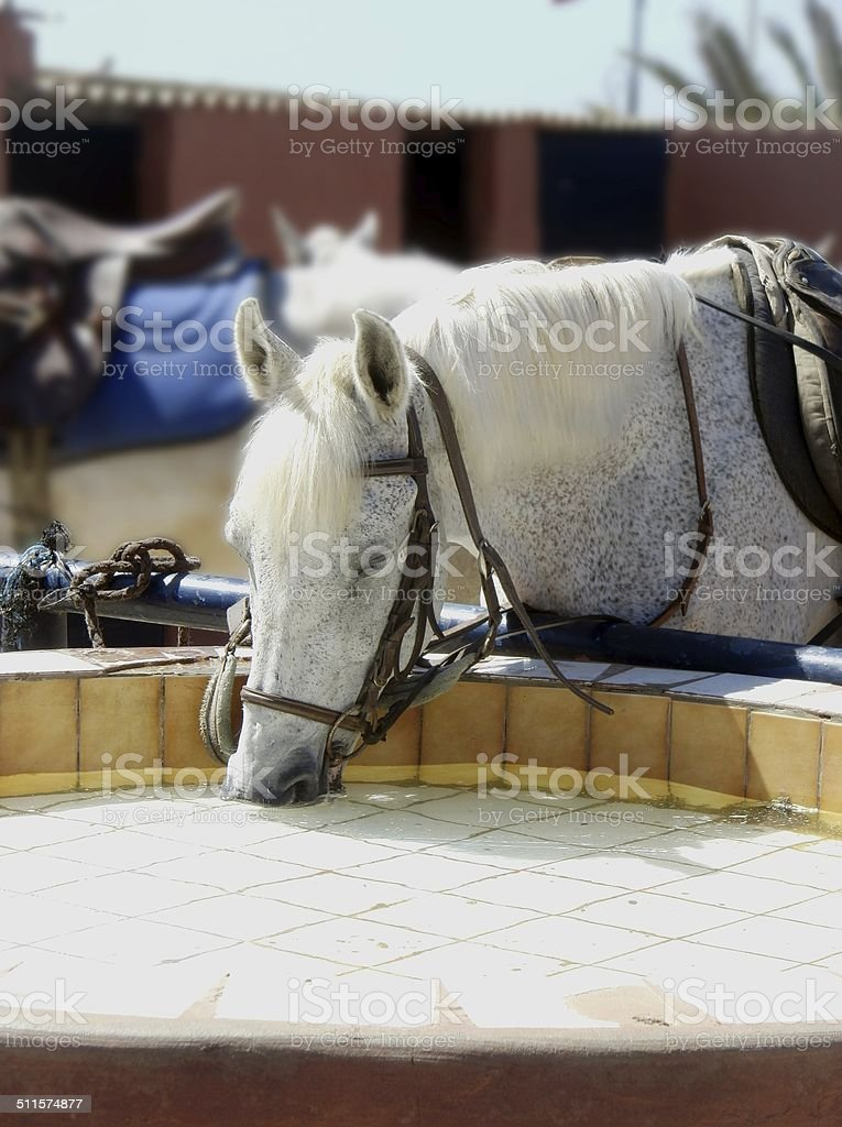Thirsty Barb horse stock photo