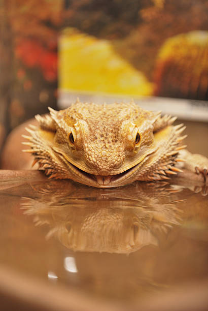 Thirsty Bearded Dragon stock photo