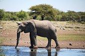 Thirsty elephant at the waterhole in Etosha National Park, Namibia Africa