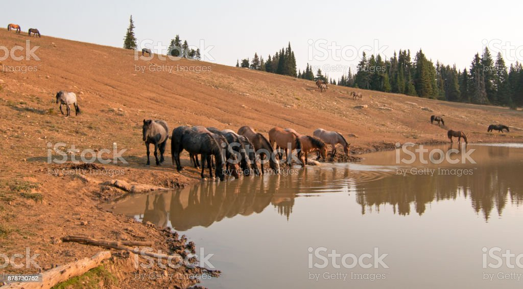 Thirsty herd of wild horse mustangs at watering hole in the Pryor Mountains Wild Horse Range in the states of Wyoming and Montana United States stock photo
